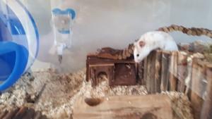 Boris hamster